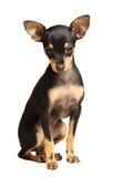 Assento do terrier de brinquedo de Russkiy do filhote de cachorro Imagem de Stock Royalty Free