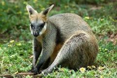 Assento do Wallaby de rocha imagens de stock