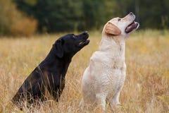 Assento dois Labradors Imagens de Stock