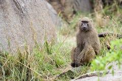 Assento e espera amarelos do babuíno Imagem de Stock