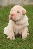 Assento lindo do cachorrinho de Shar Pei Imagens de Stock Royalty Free