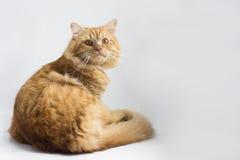 Assento marrom bonito do animal de estimação do gato, gatinho adorável que olha a câmera Fotografia de Stock Royalty Free