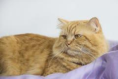 Assento marrom bonito do animal de estimação do gato, gatinho adorável que olha a câmera Foto de Stock Royalty Free