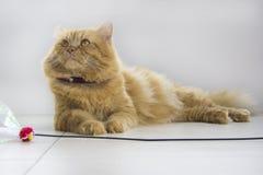 Assento marrom bonito do animal de estimação do gato, gatinho adorável que olha a câmera Imagem de Stock