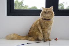 Assento marrom bonito do animal de estimação do gato, gatinho adorável que olha a câmera Imagens de Stock Royalty Free