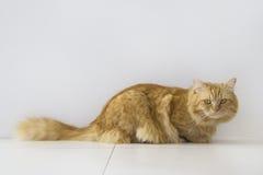 Assento marrom bonito do animal de estimação do gato, gatinho adorável que olha a câmera Imagens de Stock