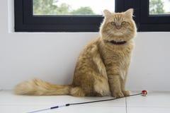 Assento marrom bonito do animal de estimação do gato, gatinho adorável que olha a câmera Fotos de Stock Royalty Free