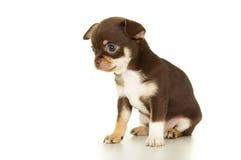 Assento marrom bonito do cachorrinho da chihuahua foto de stock royalty free