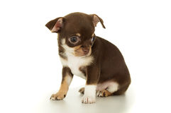 Assento marrom bonito do cachorrinho da chihuahua isolado imagens de stock