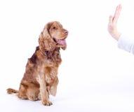 Assento masculino do cão do Spaniel de Cocker, o 1 anos de idade fotos de stock royalty free