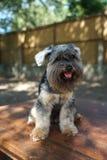 Assento misturado pequeno dos cães da raça exterior com erva daninha e semente em seu cabelo imagem de stock royalty free