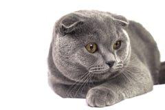 Assento na pose de um gato escocês cinzento do puro-sangue bonito Imagem de Stock Royalty Free