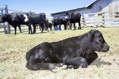Assento novo da vitela imagem de stock