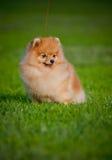 Assento novo do Spitz do filhote de cachorro Fotografia de Stock Royalty Free