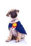 Assento pequeno bonito do campeão do cão de filhote de cachorro do pug Imagens de Stock Royalty Free