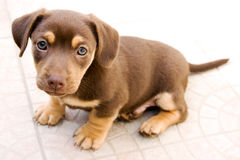 Assento pequeno do cão Imagens de Stock Royalty Free