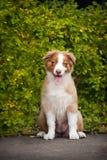 Assento pequeno do filhote de cachorro Fotografia de Stock Royalty Free