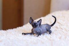 Assento pequeno do gato de Devon Rex do gatinho Imagem de Stock Royalty Free