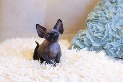 Assento pequeno do gato de Devon Rex do gatinho Imagens de Stock