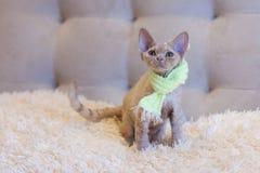 Assento pequeno do gato de Devon Rex do gatinho Foto de Stock