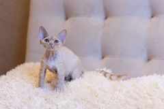 Assento pequeno do gato de Devon Rex do gatinho Imagem de Stock