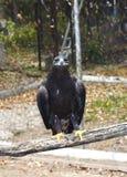 Assento Shouting da águia dourada Fotos de Stock