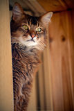 Assento somaliano do gato em um indicador Imagens de Stock