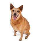 Assento vermelho de sorriso do cão de Heeler Fotos de Stock Royalty Free
