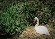 Assento visto da cisne muda em sua embreagem dos ovos perto de um riverbank no verão imagem de stock royalty free