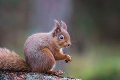Assento vulgar do sciurus do esquilo vermelho em comer do log Imagens de Stock