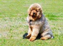Assentos do cachorrinho do mastim tibetano imagens de stock royalty free