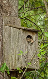 Two Squirrels huddle close Together in Man Made Shelter. Two Squirrels take Shelter in a Man Made Tree House just for Them Stock Photos