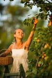 Assez, abricots de cueillette de jeune femme allumés photo stock