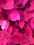 Assez dans le rose Photographie stock