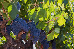 Assez de raisins rouges pour effectuer une bouteille du vin Photos libres de droits