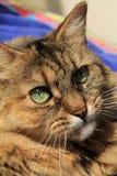 Assez fin sur le chat à cheveux longs de fille Photo libre de droits