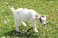 Assez peu chèvre blanche d'enfant image stock