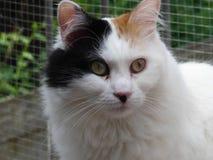 Assez turc Van cat Photos libres de droits