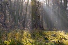 Assi di luce solare in foresta Immagini Stock
