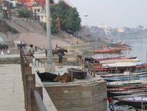 Assi Ghat Varanasi India avec des bateaux, des vaches, et des piétons photo libre de droits