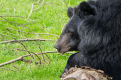 A assian black bear in close-up royalty free stock images