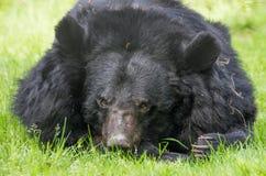 A assian black bear close-up stock image