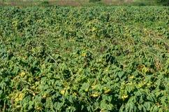 Assicurazione del raccolto Girasole distrutto che si trova sul giacimento del girasole immagini stock libere da diritti