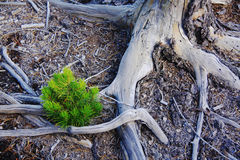 Assignment files new life after fire. New pine seedling grew up after big fire in the Yellowstone National Park in American stock photo