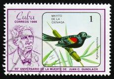 Assimilis del agelaius dell'uccello Fotografia Stock