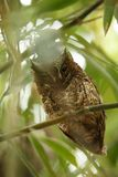 Assiolo di Sulawesi che si siede sul ramo in baldacchino di bambù, riserva di Tangkoko, Sulawesi, Indonesia, esperienza birding e fotografia stock libera da diritti