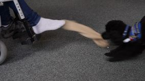 Assistance dog helps undress sock on the foot stock footage
