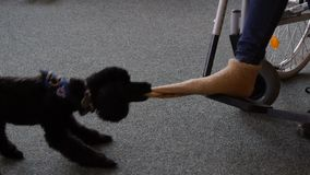 Assistance dog helps undress sock on the foot stock video footage