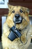 Assistant. The portrait of German sheep dog which holds the camera Stock Photos