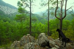 Assistant dog among the mountain landscape. Dog aborigine among the mountains looks forward Royalty Free Stock Images